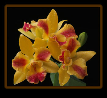 Dick McRill Orchid Photograps of Orchids